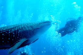 Whale shark Open Water Dive Course